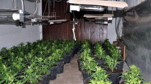 Úc: Nhiều ngôi nhà cho thuê ở Perth bỗng biến thành trang trại trồng cần sa