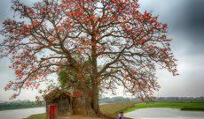 Nao lòng mùa hoa gạo tháng Ba rực đỏ chốn quê nhà