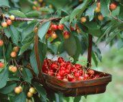 5 địa điểm hái cherry vòng quanh thành phố Melbourne