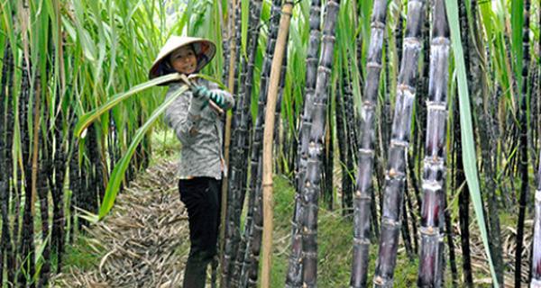Người Việt chúng ta ăn mía bỏ bã, trong khi người Thái, người Philippines lấy bã mía tạo ra hàng tỷ kWh điện mỗi năm