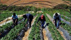 Chính phủ Úc quyết định không triển khai Chương trình visa lao động dành riêng cho ngành nông nghiệp