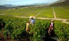 Úc: Nhiều nhân viên làm farm ở bang Victoria bị lạm dụng và chiếm đoạt tiền lương