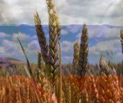 Nga tăng thuế xuất khẩu lúa mì, nông dân Úc hưởng lợi lớn