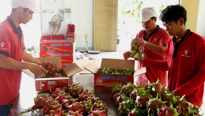 Thị trường Australia nhiệt tình chào đón thanh long ruột đỏ Việt Nam