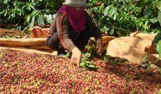 Cà phê Việt 2 USD/kg, Starbucks mua về bán… 200 USD/kg