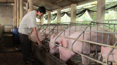 Thương lái Trung Quốc thu mua, giá lợn tăng trở lại: Bộ Công Thương nói gì?